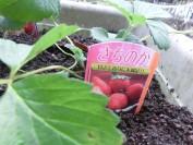 イチゴの苗を植えてみました!